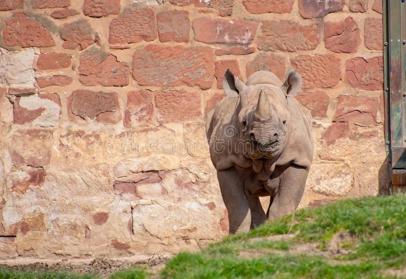 Young Black Rhino. In its enclosure at a zoo royalty free stock image