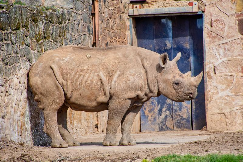 Young Black Rhino. In its enclosure at a zoo royalty free stock photo