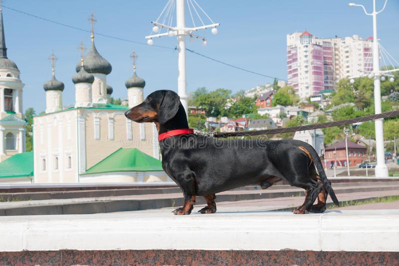 Young black and tan dachshund at the Admiralty Square, Voronezh, Russia stock photo