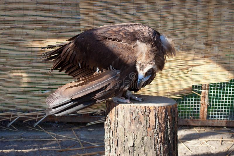 Young black vulture sit on a stump. Young black vulture sit on a wooden stump royalty free stock image