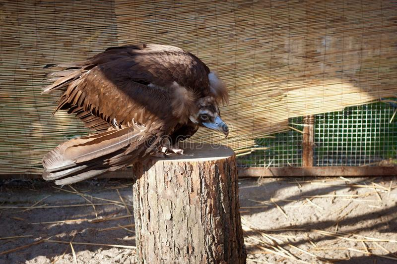 Young black vulture sit on a stump. Young black vulture sit on a wooden stump royalty free stock images