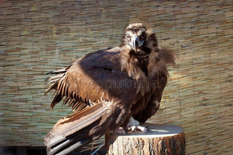 Young black vulture sit on a  stump. Young black vulture sit on a wooden stump stock photography