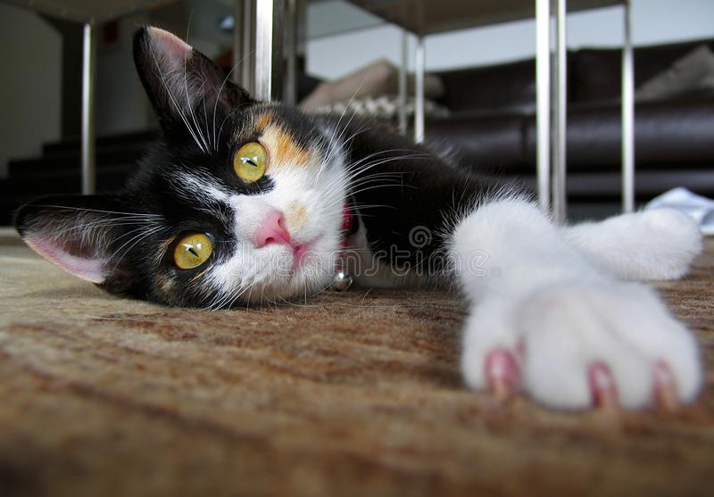 Young Black And White Cat Stretching royalty free stock image