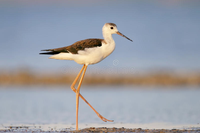 Young black-winged stilt in soft morning light walking on water stock images