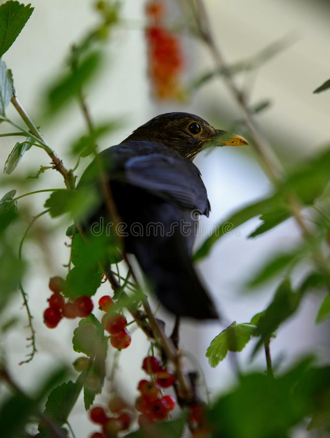 Young blackbird merle hiding in a currant plant ant stealing berries from it in the summer stock photos