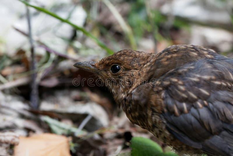 Young blackbird Turdus merula. Portrait of a  young blackbird Turdus merula royalty free stock photo