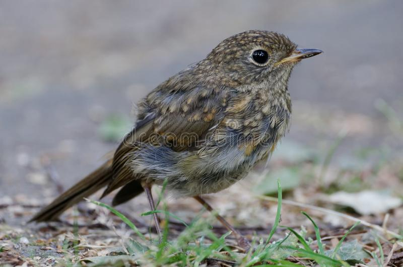 Young blackbird. A young blackbird sits on a path in a park in Cologne royalty free stock image
