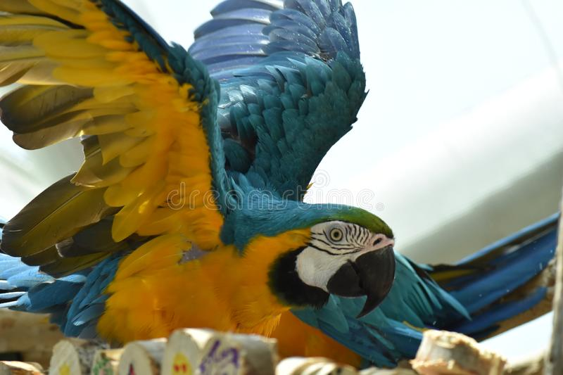 Young Blue-and-yellow Macaw. Domestic, standing. Young Blue-and-yellow Macaw - Ara ararauna 8 months in front of a white background stock photography