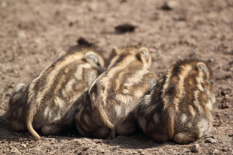 Young boars sleeping royalty free stock photography