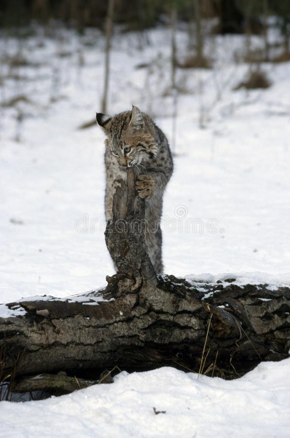 Download Young Bobcat stock image. Image of cats, snow, standing - 19422717