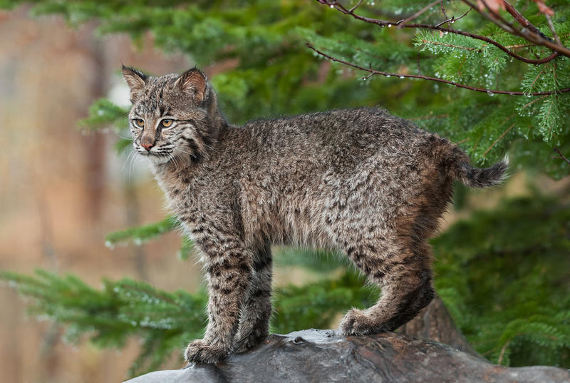 Download Young Bobcat ( (Lynx Rufus) Stands Defiant Stock Photo - Image: 34815324