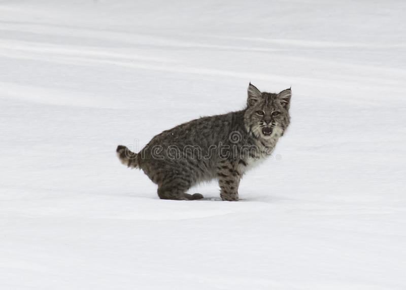 Young bobcat with mouth open royalty free stock images