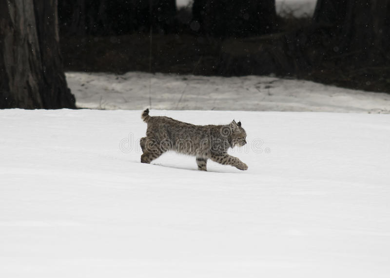 Young bobcat runs in the snow royalty free stock photography
