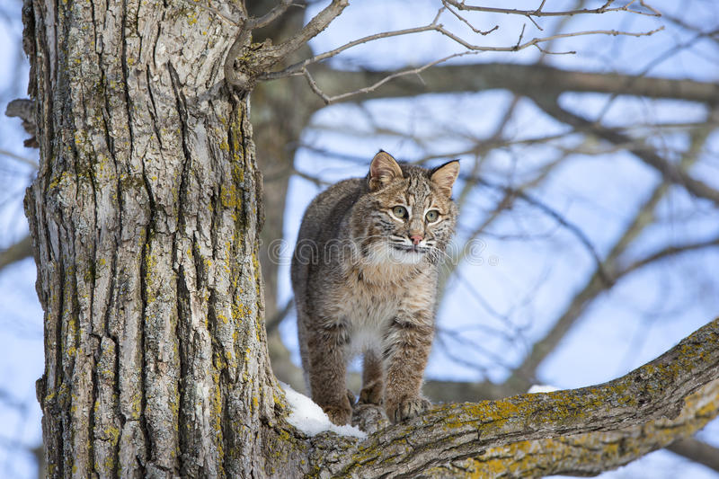 Young bobcat in tree stock photography