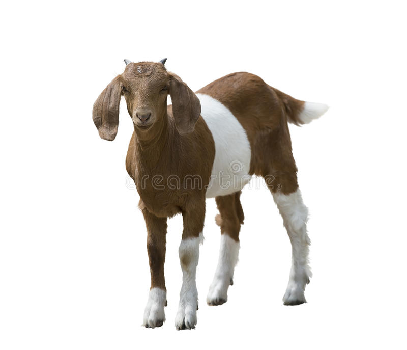 Young boer goat. Isolated on white background stock photo