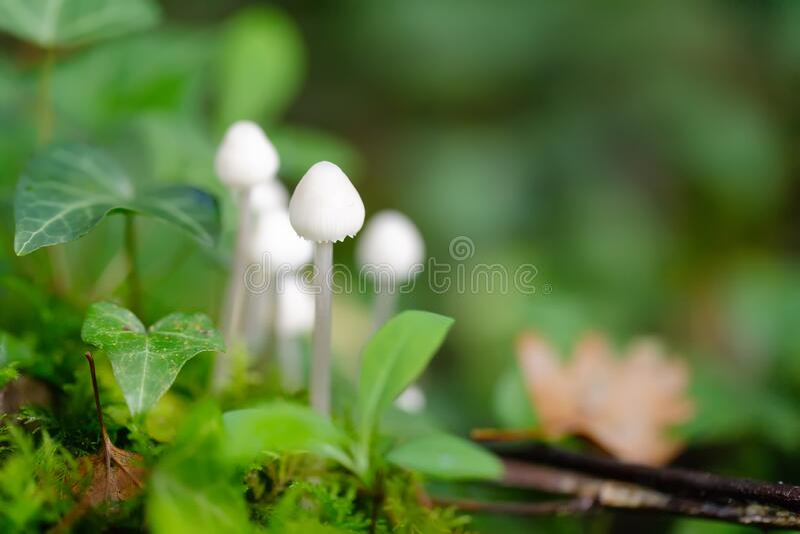 Young bolbitius lacteus mushroom royalty free stock photos