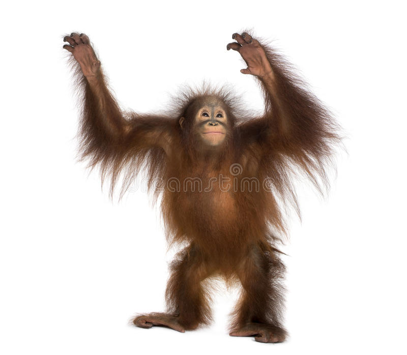 Young Bornean orangutan standing, reaching up, Pongo pygmaeus royalty free stock photos