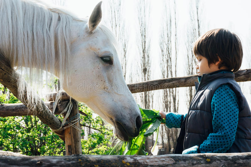 Young boy feeding white horse stock photography