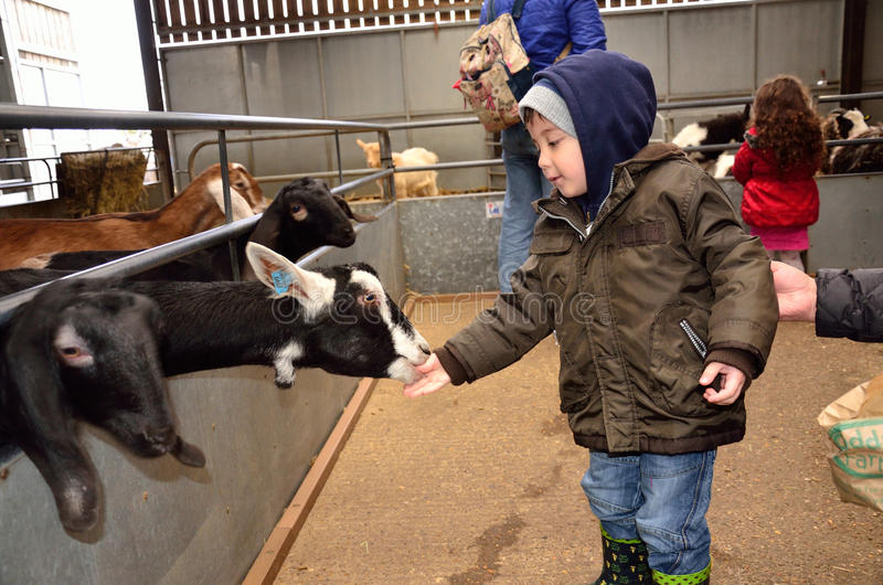 A young boy feeds goats at a petting zoo. stock images