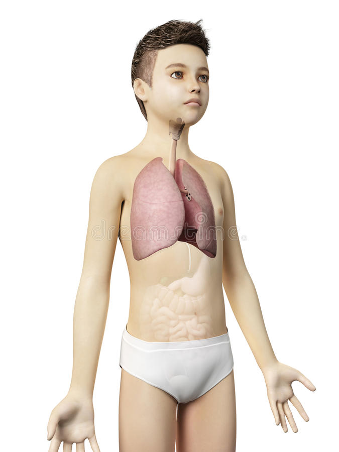 Young boy - the lung. Anatomy of a young boy - the lung stock illustration