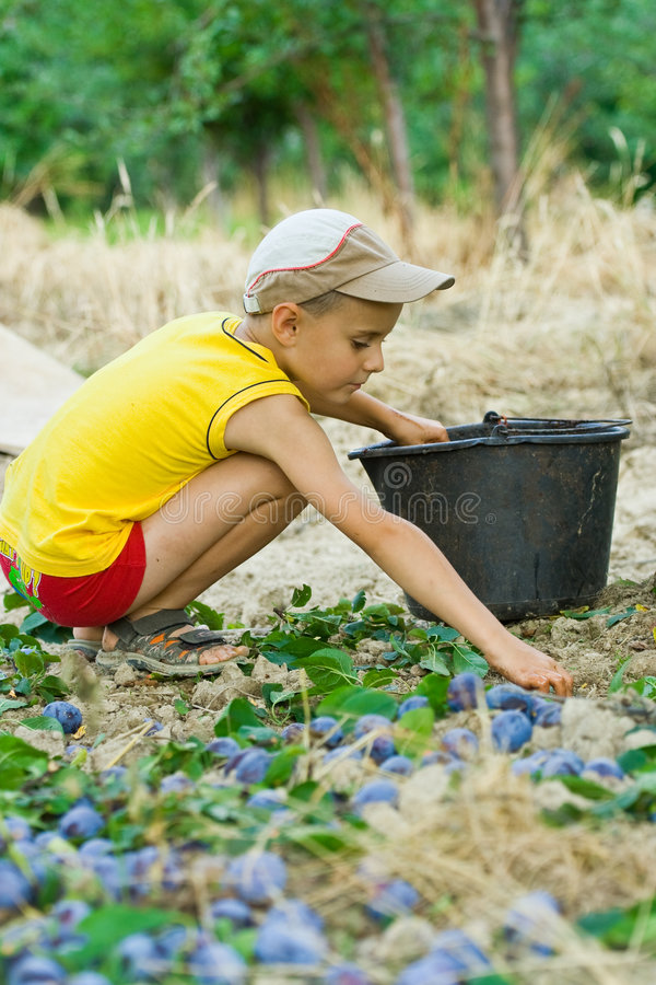 Download Young boy picking plums stock image. Image of fruit, autumn - 6097233