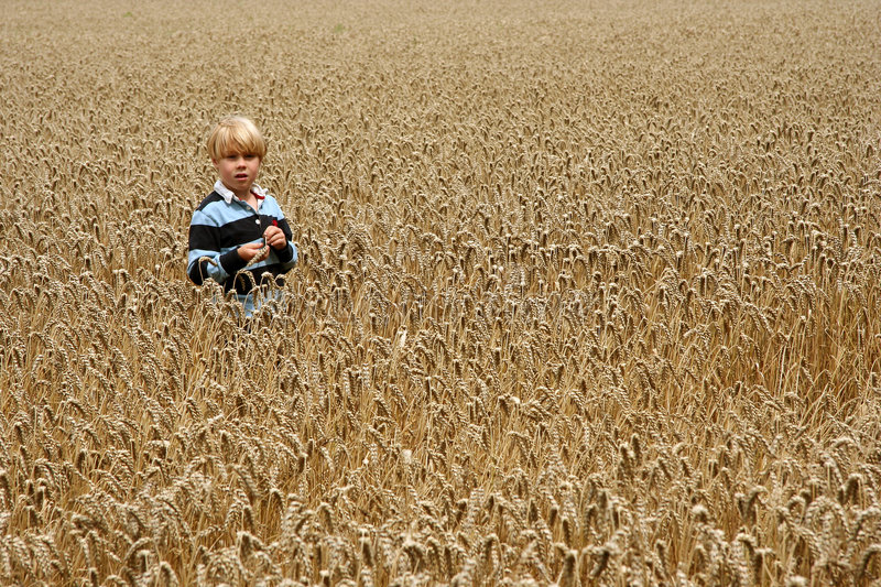 Young boy in wheat field stock images