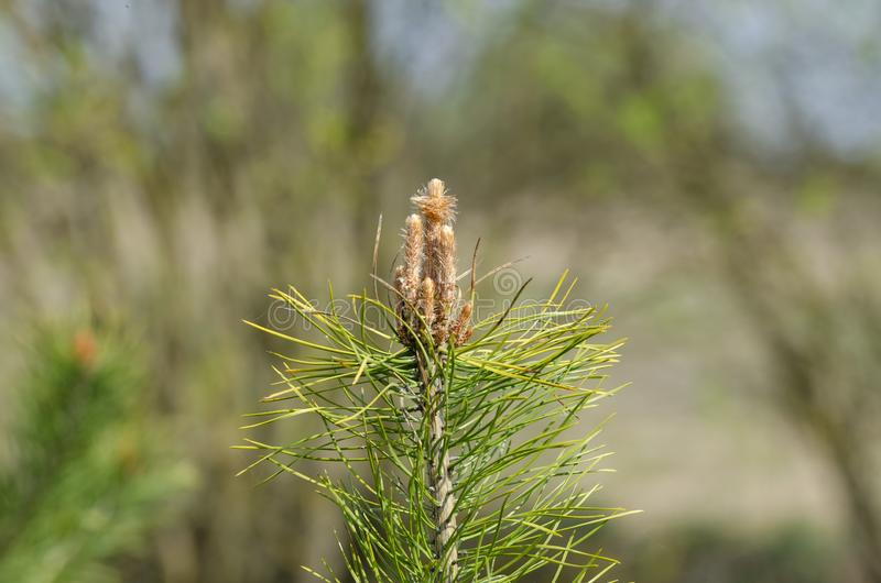 Young branch of common Scots pine. Pinus sylvestris in field. Close up stock images