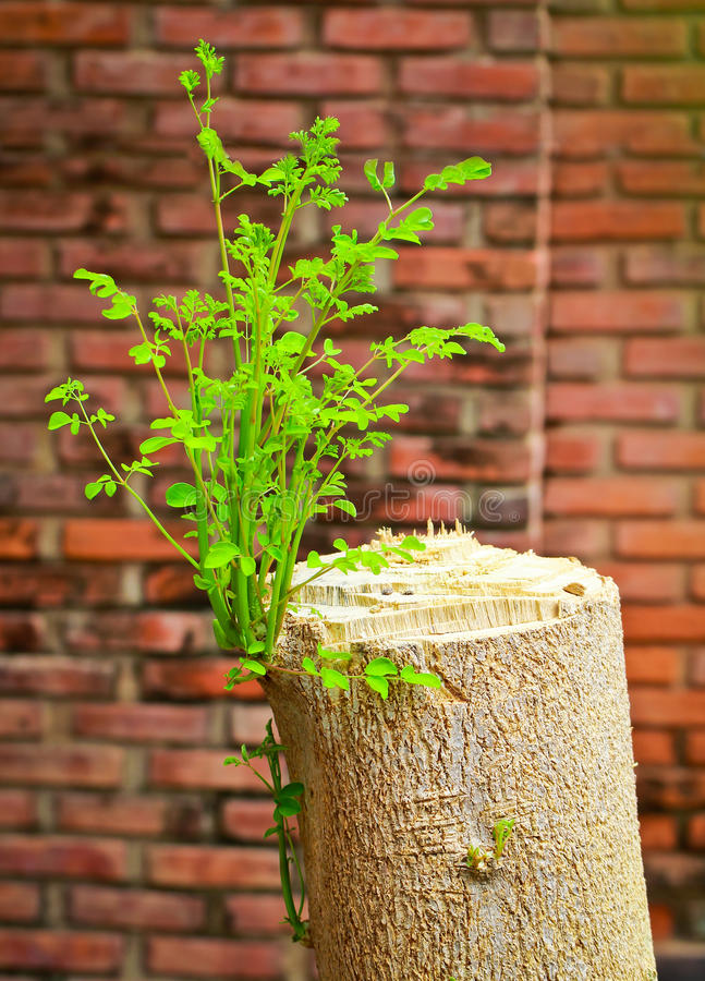 Young branch on the old tree stump. With grungy brick wall stock images