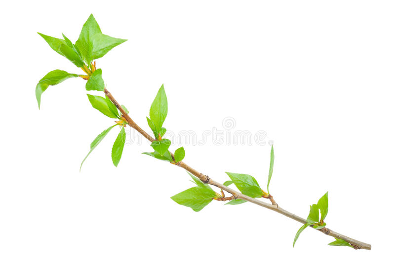 Young branch of a tree stock images