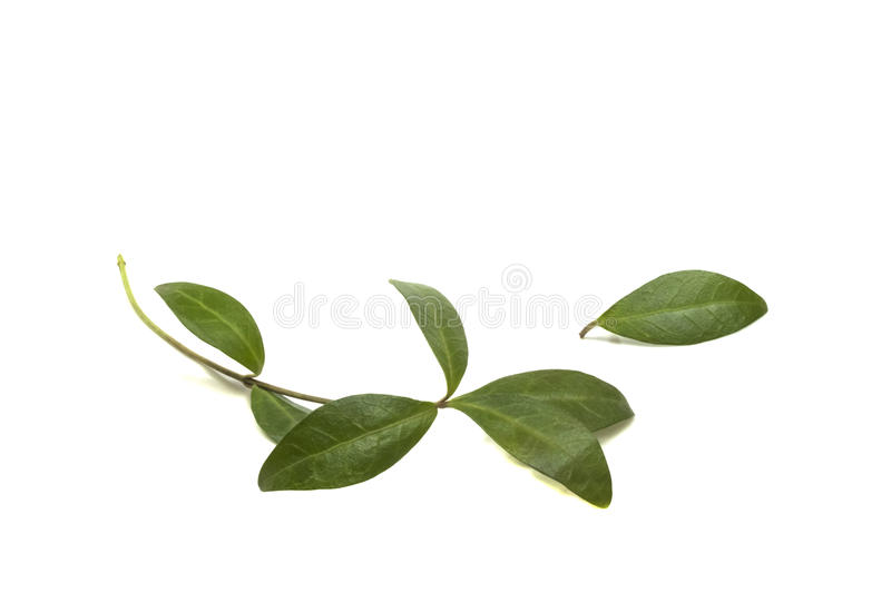 Young branches with green leaves periwinkle royalty free stock photos