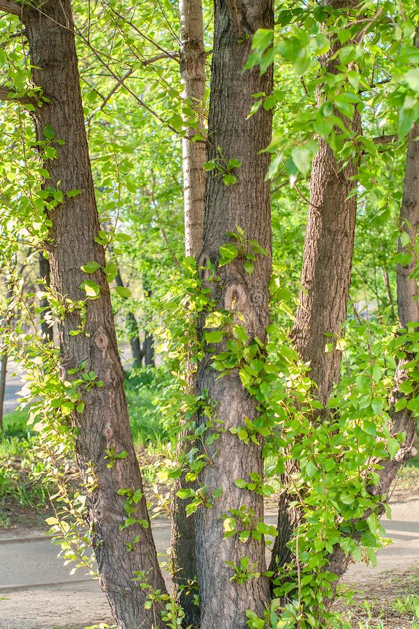 Young branches with green sunlit leaves on old poplar tree trunk at summer sunny day in park stock photo