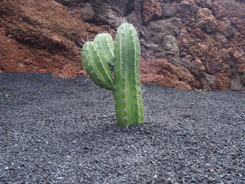 Young branching cactus plant in black volcanic soil royalty free stock photography