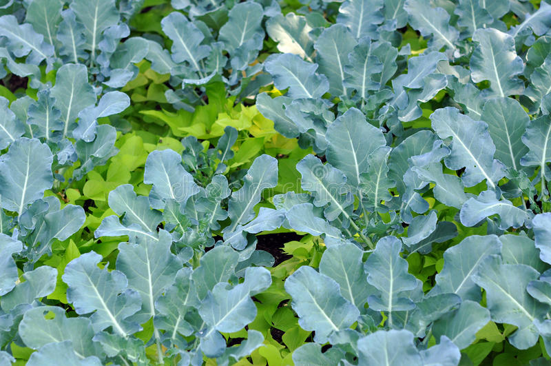 Young Brassicaceae. (gai lan) tree in garden royalty free stock images