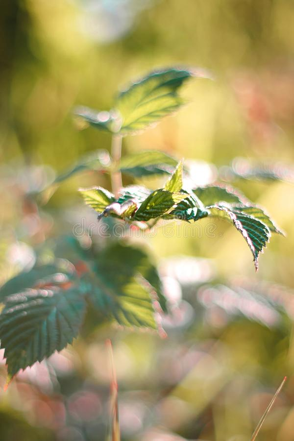 Young bright green leaves of a bush royalty free stock images