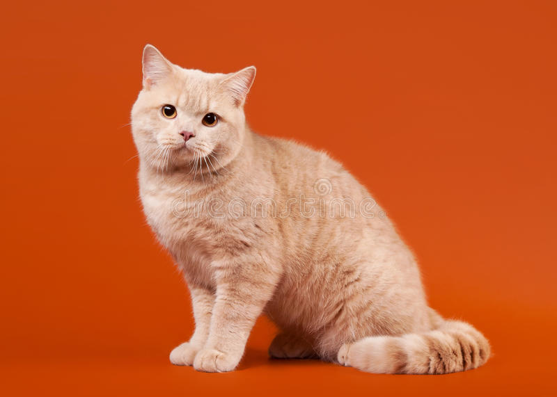 Download Young british lilac cat stock image. Image of green, breed - 24841613