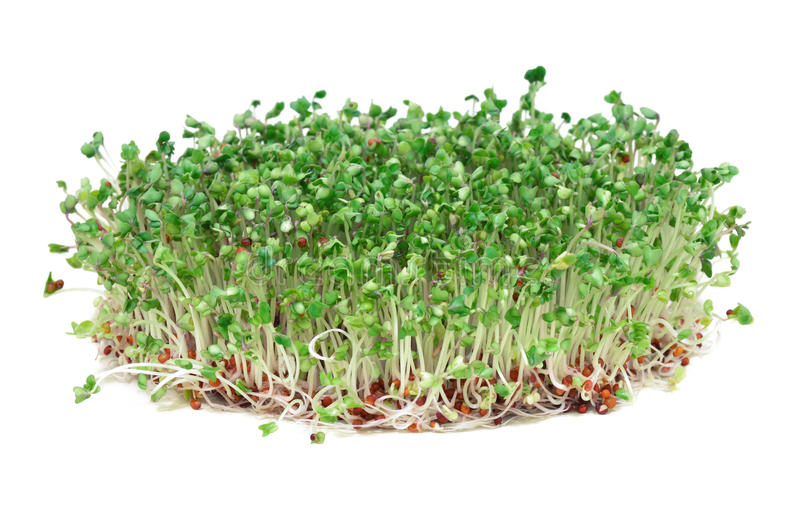 Young broccoli sprouts royalty free stock photo