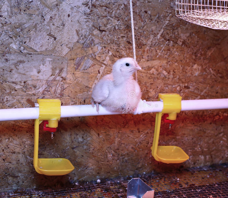 Young broiler chicken is heated by an infrared lamp. In brooder cage stock photography