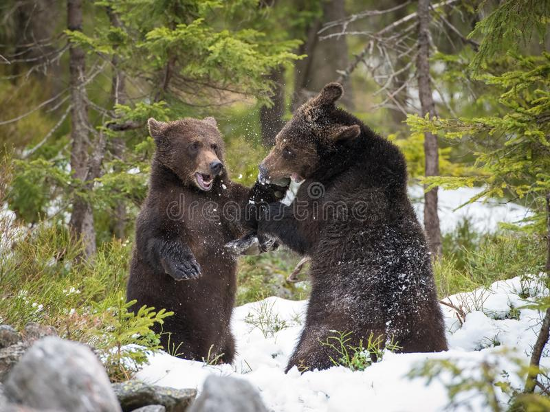 The young Broown Bear, Ursus arctos. The young Broown Bears, Ursus arctos is looking what to do. Standing young bears are fighting or playing in the forest. In royalty free stock photo