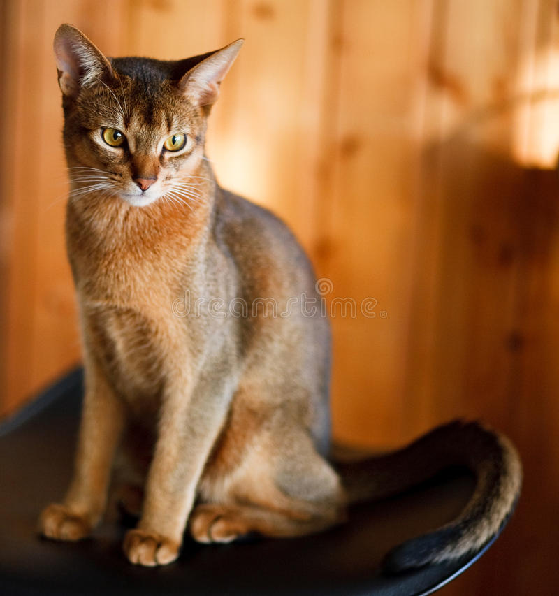 Young brown Abyssinian royalty free stock images