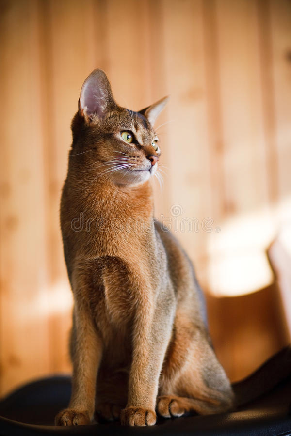 Young brown Abyssinian cat royalty free stock photos