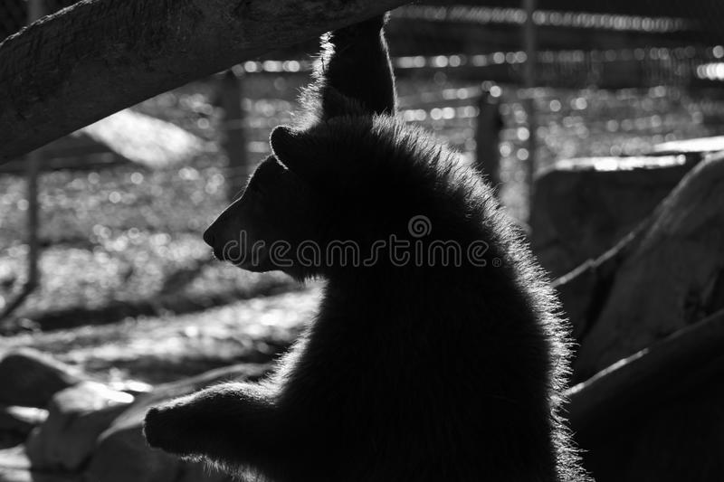 Young brown bear close up. In black and white royalty free stock photography