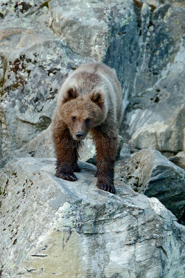 Young brown bear lost in the rock. Portrait of brown bear, sitting on the grey stone, animal in the nature habitat, Slovakia. Wild royalty free stock images