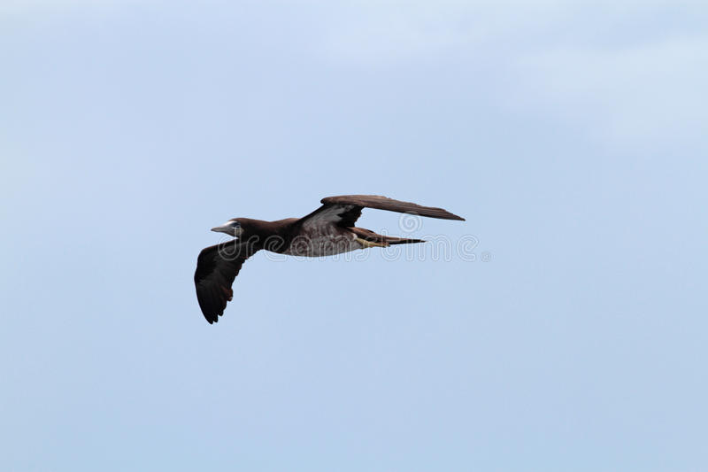 Young Brown Booby in Flight royalty free stock photo