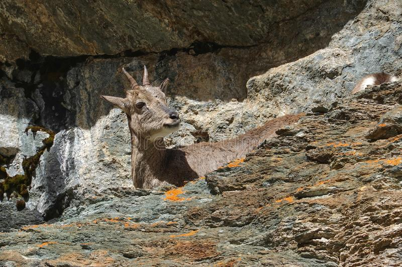 Young brown chamois in Yading national reserve. Daocheng county, Sichuan province, China royalty free stock photo