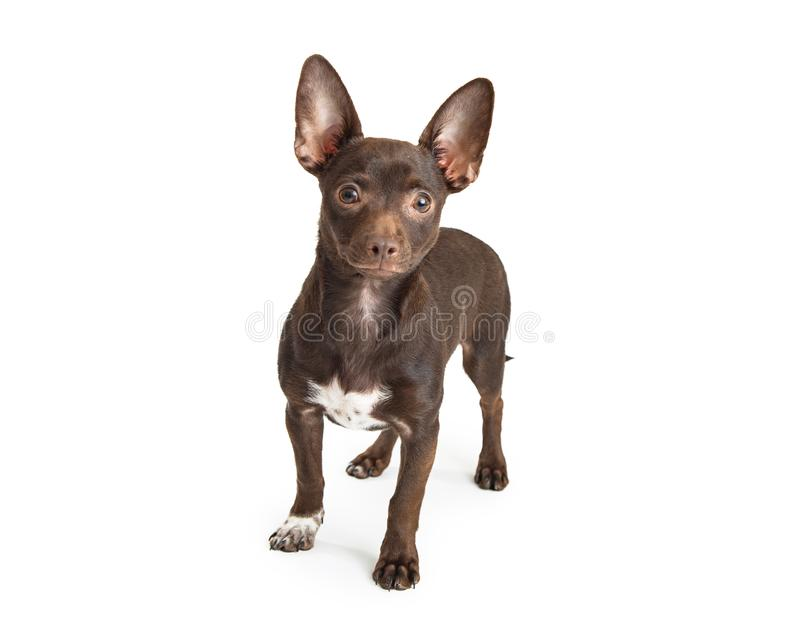 Young Brown Chihuahua Dog on White royalty free stock photo
