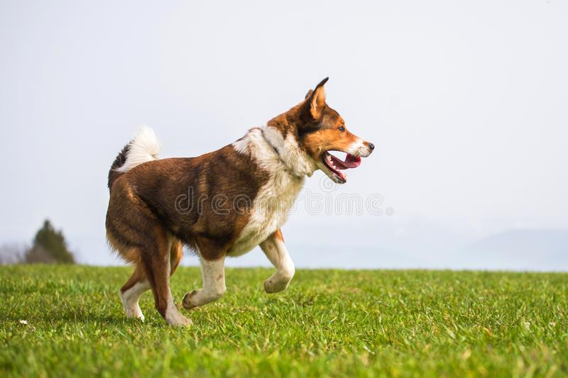 Brown crossbreed shepherd is running down the mountain meadow royalty free stock photo