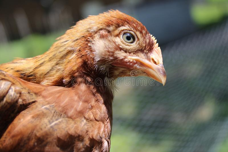 Young brown curious chicken in sunshine. Pullet chicken, four weeks old, golden chicken with green eye. Looks ready to peck at someone in farmyard royalty free stock photo