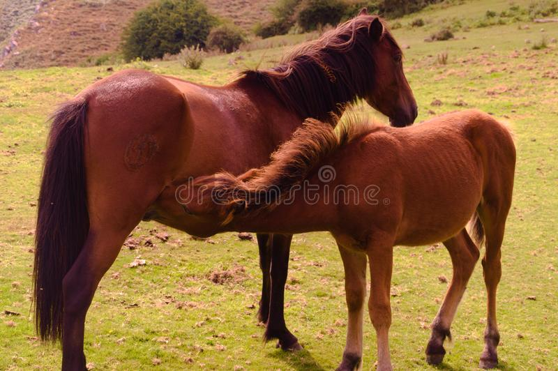 A young brown foal nursing from his filly mother stock photos