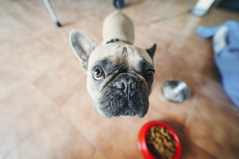 Young brown French Bulldog angry. Young brown French Bulldog angry royalty free stock photography