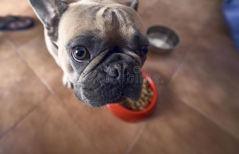 Young brown French Bulldog angry. Young brown French Bulldog angry royalty free stock images